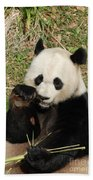 Giant Panda Bear Holding On To Bamboo While Eating Beach Towel