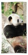 Giant Panda Bear Leaning Against A Tree Trunk Eating Bamboo Beach Towel