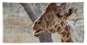 Girafe Head About To Grab Food Beach Towel