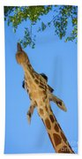 Giraffe Lunch Beach Towel