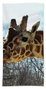 Giraffe Stretching For A View Beach Towel