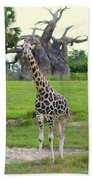 Giraffe With African Baobob Tree Beach Towel