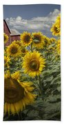 Golden Blooming Sunflowers With Red Barn Beach Towel