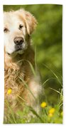 golden Retriever in garden Beach Towel