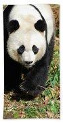 Gorgeous Sweet Giant Panda Bear Ambling Along Beach Towel