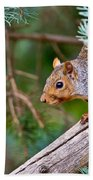 Gray Squirrel Pictures 93 Beach Towel