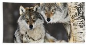Gray Wolf Canis Lupus Pair In The Snow Beach Sheet