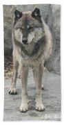Gray Wolf Stare Beach Towel