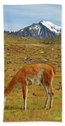 Grazing Guanaco In Patagonia Beach Sheet