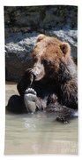 Grizzly Bear Licking His Paw While Seated In A Muddy River Beach Towel