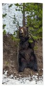Grizzly Shaking A Tree Beach Towel