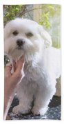 Grooming The Neck Of Adorable White Dog Beach Towel
