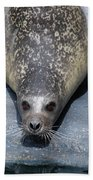 Harbor Seal Ready To Plunge Into The Water Beach Towel