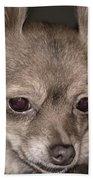 Hattie--foxy Chihuahua Beach Towel