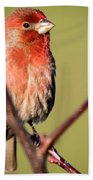 House Finch In Full Color Beach Sheet