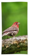 House Finch Perched Beach Towel