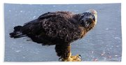 Immature Eagle Having Lunch Beach Towel