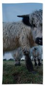 Inquisitive White High Park Cow Beach Towel