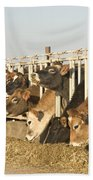Jersey Cows Feeding Beach Towel