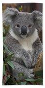 Koala Phascolarctos Cinereus Beach Towel by Zssd