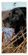 Labrador Retriever Waiting In Blind Beach Towel