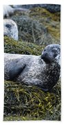 Large Harbor Seal Colony In Scotland Beach Towel