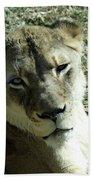 Lioness Peering Beach Towel