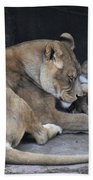 Lioness's Playing 2 Beach Towel