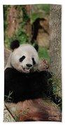Lounging Giant Panda Bear With A Shoot Of Bamboo Beach Towel