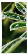 Lupine Leaves Decorated With Dew Drops Beach Towel