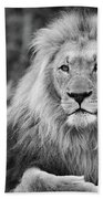 Majestic Male Lion Black And White Photo Beach Towel