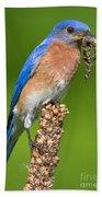 Male Bluebird With Larvae Beach Towel