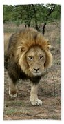 Male Lion On Alert Beach Towel