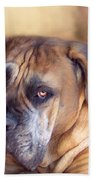Mastiff Portrait Beach Towel by Carol Cavalaris