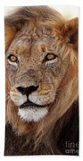 Mighty Lion In South Africa Beach Towel