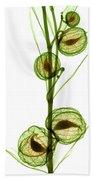 Milkweed, Gomphocarpus Physocarpus Beach Towel