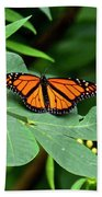 Monarch Butterfly Resting On Cassia Tree Leaf Beach Towel