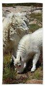 Mountain Goat Nanny And Kid Foraging At Columbine Lake - Weminuche Wilderness - Colorado Beach Towel