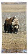 Musk Ox Grazing Beach Towel