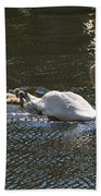 Mute Swan With Three Cygnets Following Beach Towel