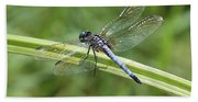 Nature Macro - Blue Dragonfly Beach Towel