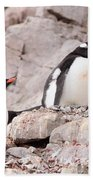 Nesting Gentoo Penguins Beach Towel