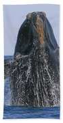 North Atlantic Right Whale Breaching Beach Towel by Tony Beck