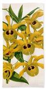 Orchid, Dendrobium Chrysotis, 1891 Beach Towel