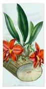 Orchid, Sophronitis Grandiflora, 1880 Beach Towel
