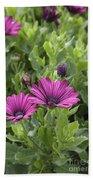 Osteospermum Flowers Beach Sheet