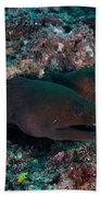 Pair Of Giant Moray Eels In Hole Beach Towel