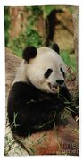 Panda Bear With Teeth Showing While He Was Eating Bamboo Beach Towel