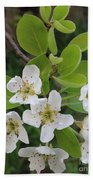 Pear Blossoms In Full Bloom Beach Towel