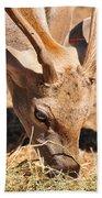 Persian Fallow Deer Beach Towel